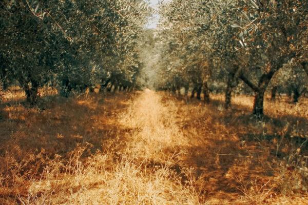Sabíeu que la superfície de terra utilitzada per al cultiu ecològic d'oliveres a tot el món gairebé s'ha triplicat des de 2004?